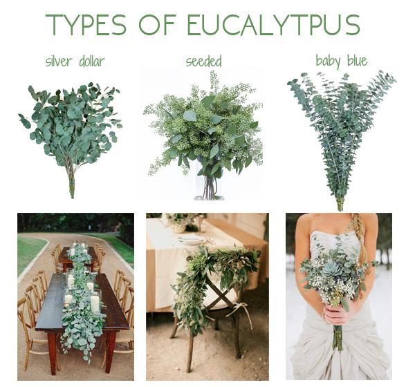 Types-of-Eucalyptus