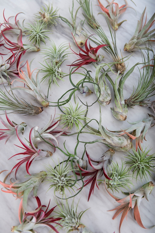 Gorgeous, bulk assorted air plants from Fifty Flowers
